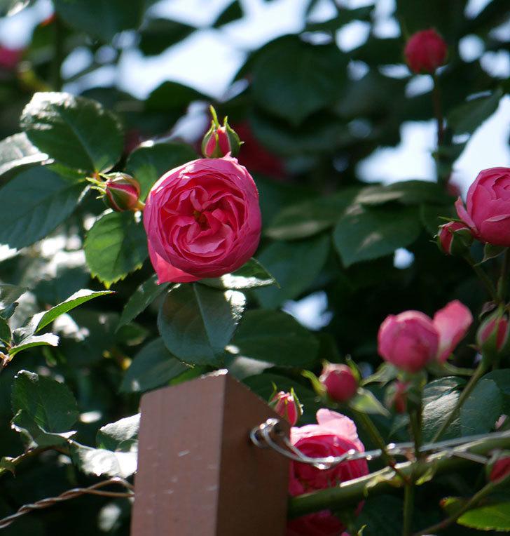 ポンポネッラ(ツルバラ)の花が咲いた。2019年-24.jpg