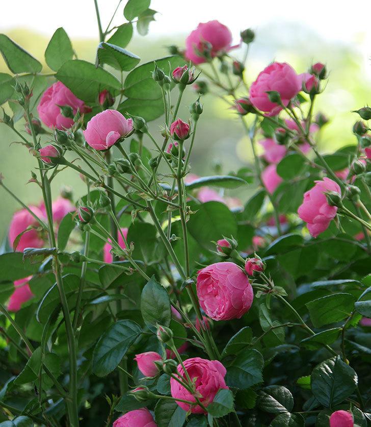 ポンポネッラ(ツルバラ)の花が咲いた。2019年-4.jpg