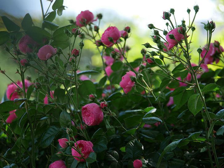ポンポネッラ(ツルバラ)の花が咲いた。2019年-5.jpg
