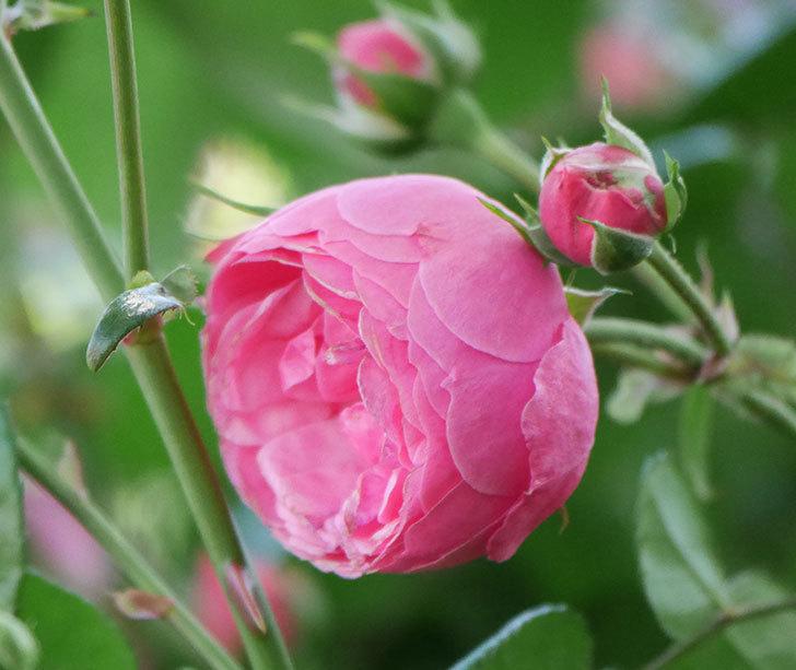 ポンポネッラ(ツルバラ)の花が咲いた。2019年-9.jpg