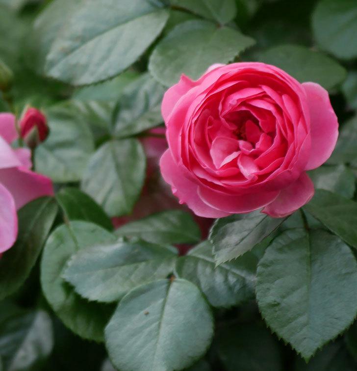 ポンポネッラ(ツルバラ)の花が咲きだした。2019年-1.jpg