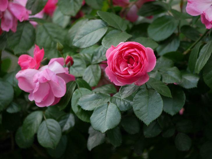 ポンポネッラ(ツルバラ)の花が咲きだした。2019年-2.jpg