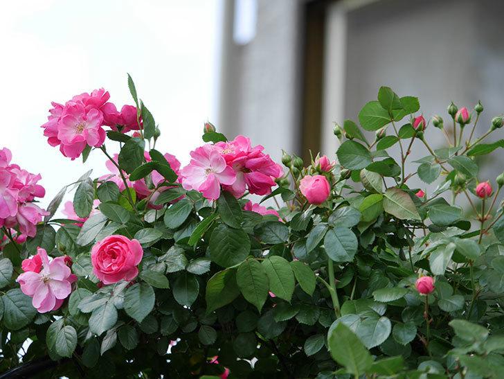 ポンポネッラ(ツルバラ)の花が咲きだした。2019年-4.jpg