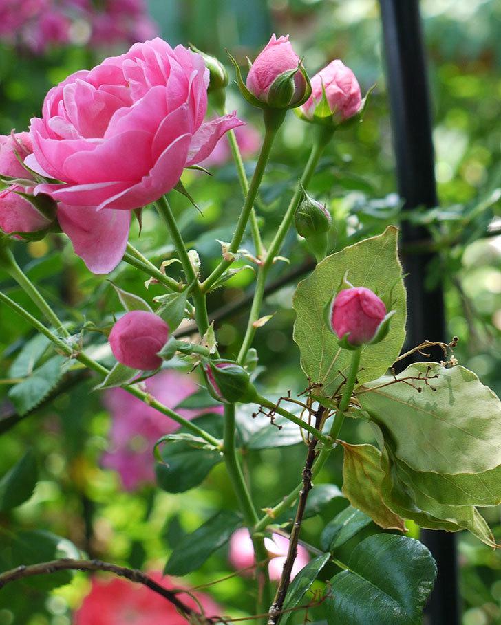 ポンポネッラ(ツルバラ)の花が増えてきた。2017年-5.jpg