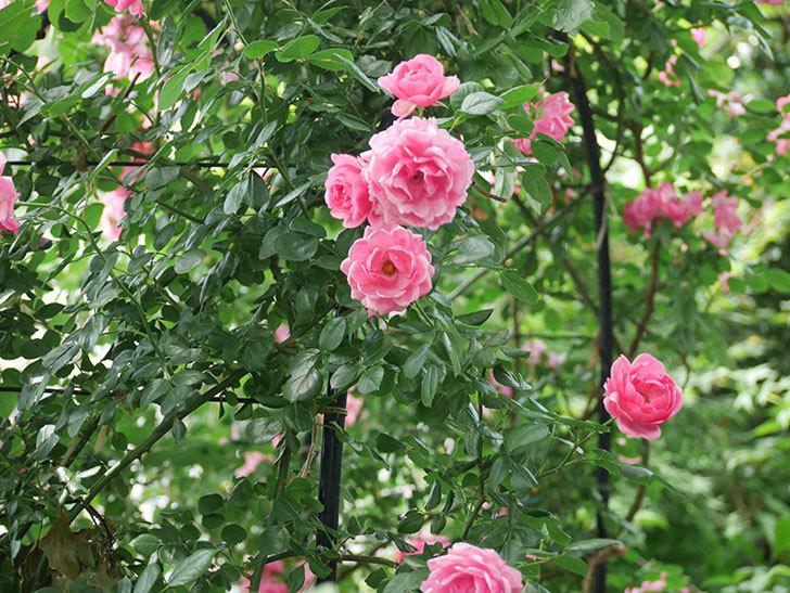 ポンポネッラ(ツルバラ)の花が増えて来た。2018年-2.jpg