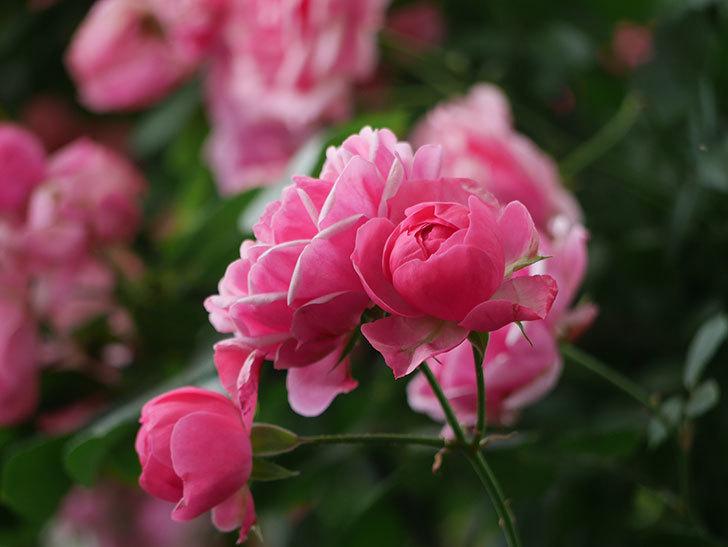 ポンポネッラ(ツルバラ)の花が増えて来た。2018年-4.jpg