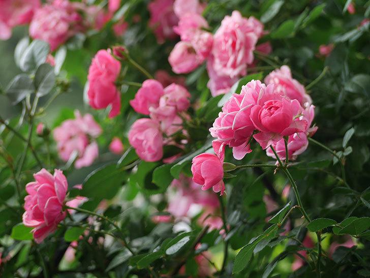 ポンポネッラ(ツルバラ)の花が増えて来た。2018年-5.jpg