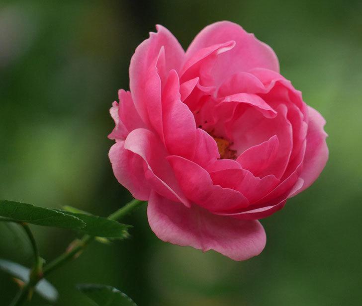 ポンポネッラ(ツルバラ)の花が増えて来た。2018年-6.jpg