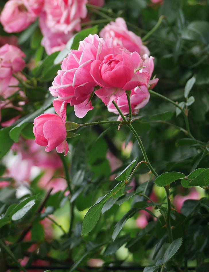 ポンポネッラ(ツルバラ)の花が増えて来た。2018年-8.jpg