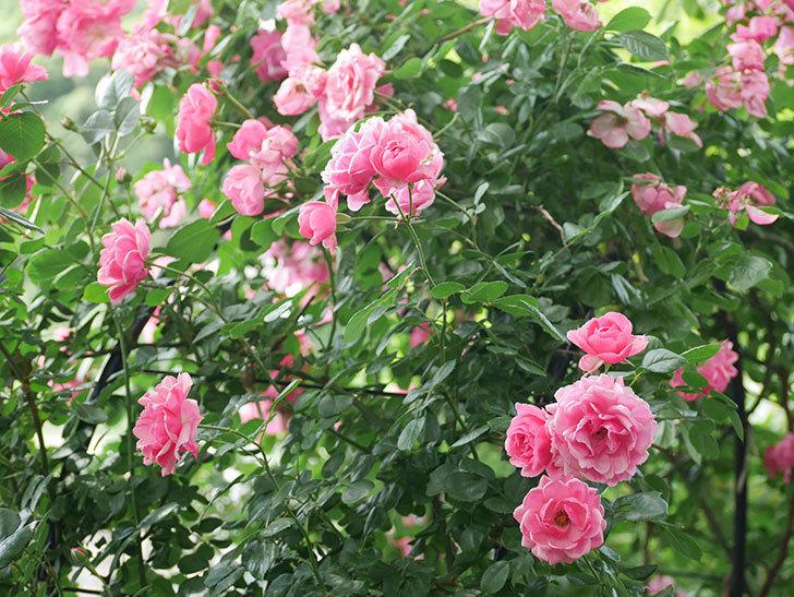 ポンポネッラ(ツルバラ)の花が増えて来た。2018年-9.jpg