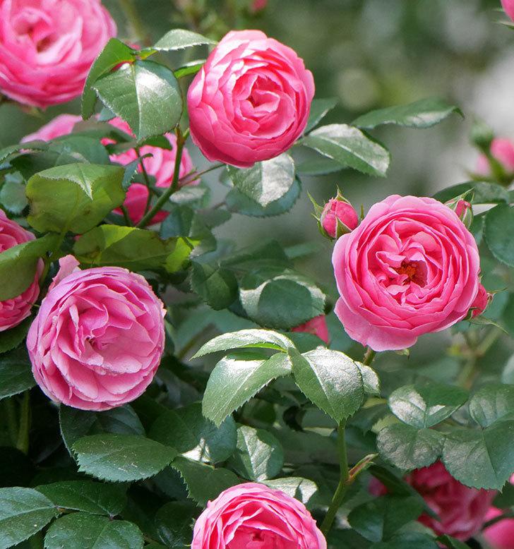 ポンポネッラ(ツルバラ)の花が増えて来た。2019年-1.jpg