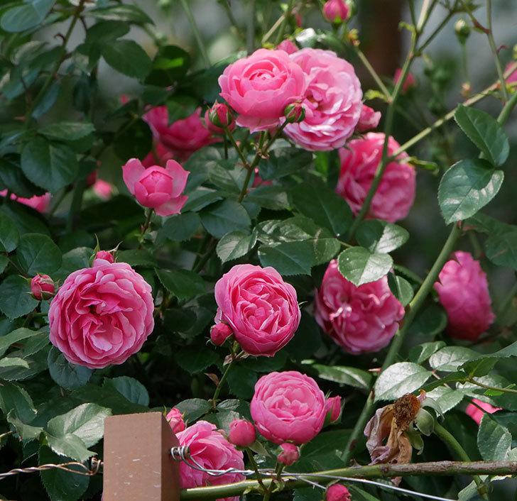 ポンポネッラ(ツルバラ)の花が増えて来た。2019年-13.jpg