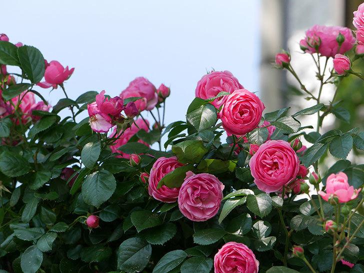 ポンポネッラ(ツルバラ)の花が増えて来た。2019年-14.jpg