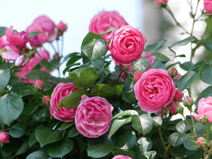 ポンポネッラ(ツルバラ)の花が増えて来た。2019年-15.jpg