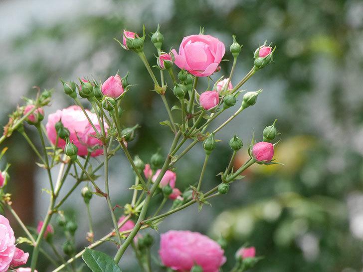 ポンポネッラ(ツルバラ)の花が増えて来た。2019年-18.jpg