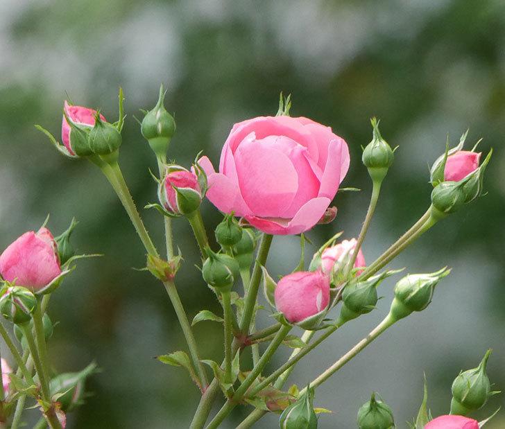 ポンポネッラ(ツルバラ)の花が増えて来た。2019年-19.jpg