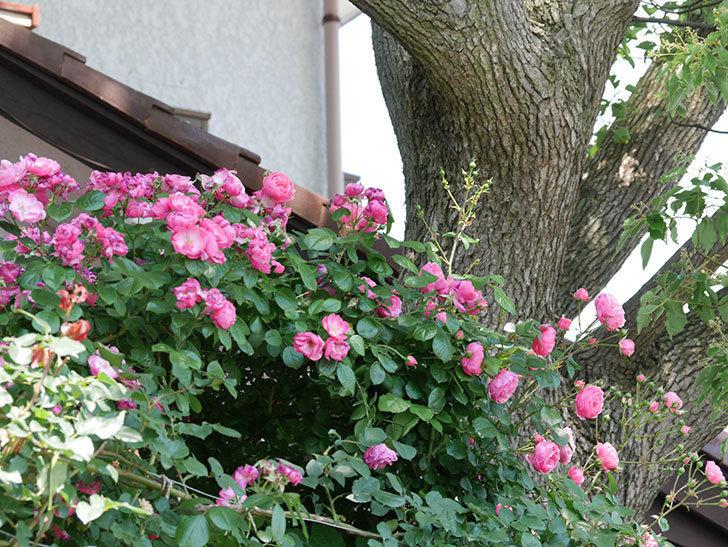 ポンポネッラ(ツルバラ)の花が増えて来た。2019年-2.jpg