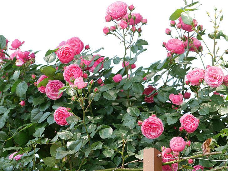 ポンポネッラ(ツルバラ)の花が増えて来た。2019年-20.jpg