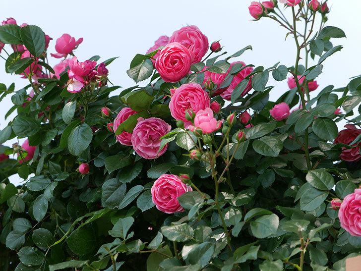 ポンポネッラ(ツルバラ)の花が増えて来た。2019年-21.jpg