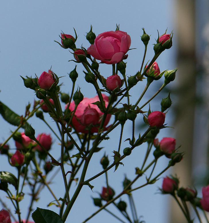 ポンポネッラ(ツルバラ)の花が増えて来た。2019年-23.jpg