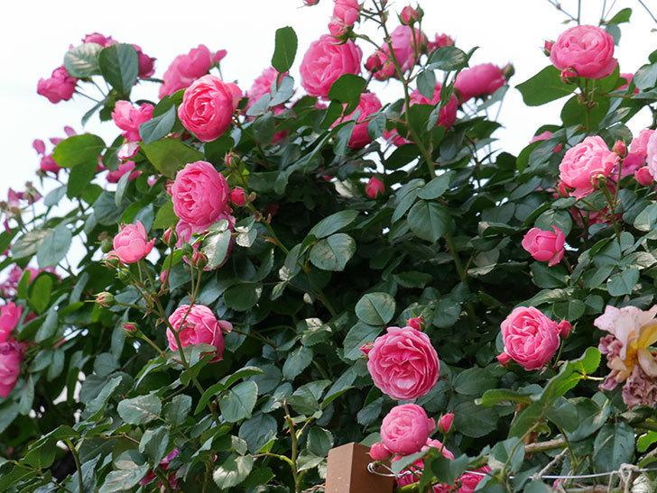 ポンポネッラ(ツルバラ)の花が増えて来た。2019年-24.jpg
