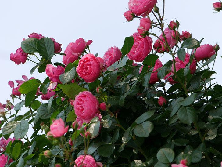 ポンポネッラ(ツルバラ)の花が増えて来た。2019年-25.jpg