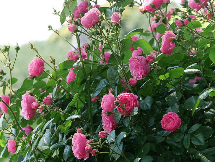 ポンポネッラ(ツルバラ)の花が増えて来た。2019年-26.jpg