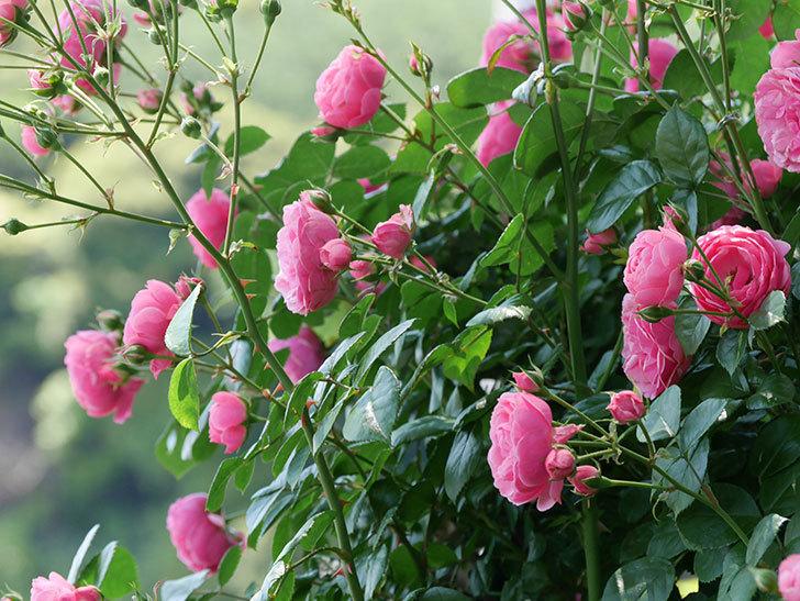 ポンポネッラ(ツルバラ)の花が増えて来た。2019年-28.jpg