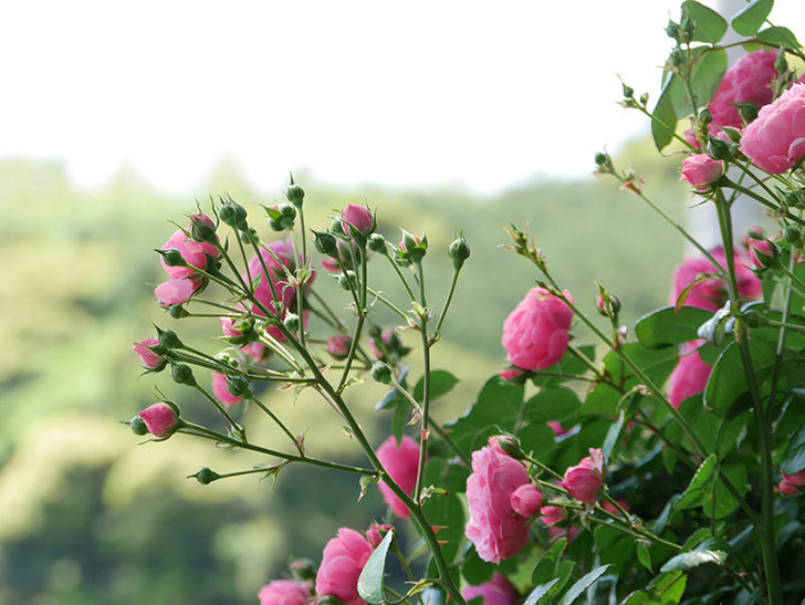 ポンポネッラ(ツルバラ)の花が増えて来た。2019年-29.jpg