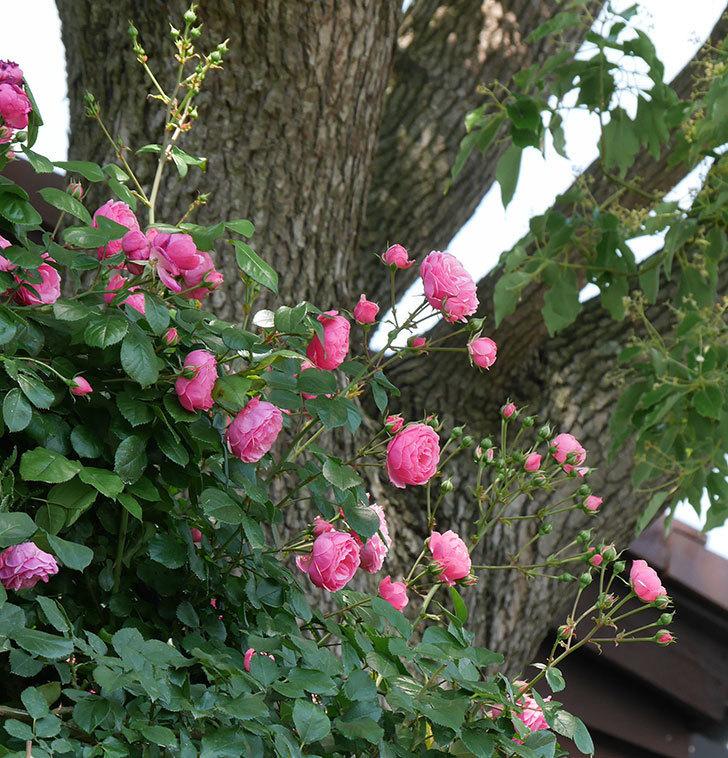ポンポネッラ(ツルバラ)の花が増えて来た。2019年-3.jpg