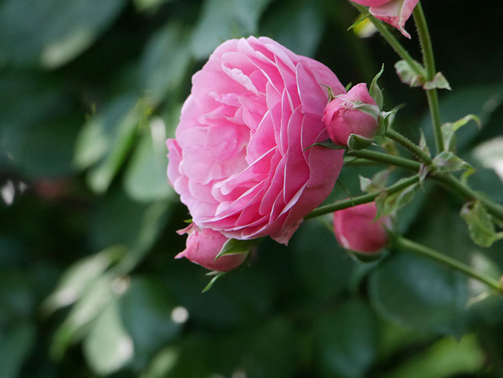ポンポネッラ(ツルバラ)の花が増えて来た。2019年-30.jpg