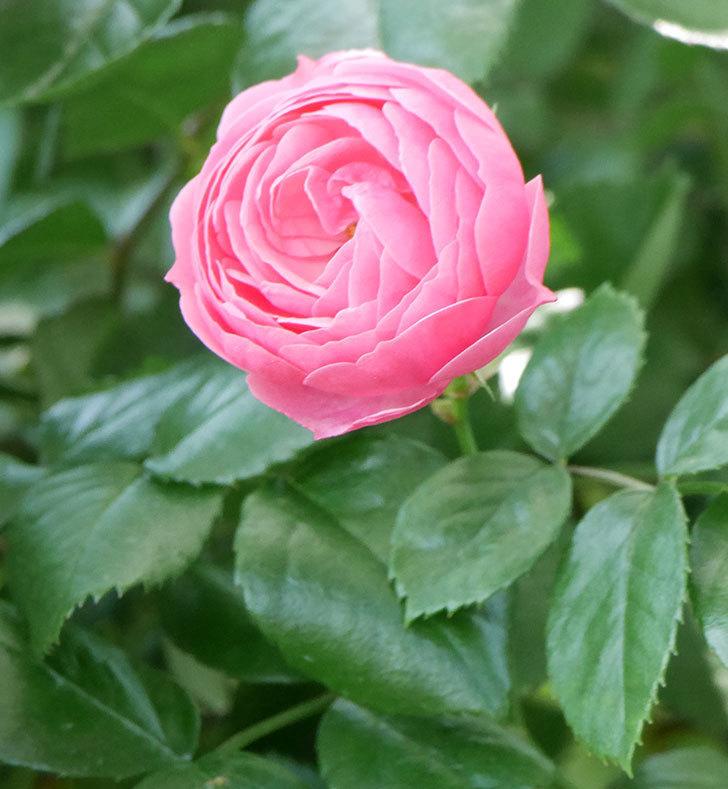 ポンポネッラ(ツルバラ)の花が増えて来た。2019年-31.jpg