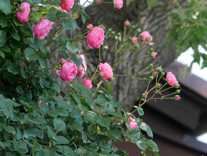 ポンポネッラ(ツルバラ)の花が増えて来た。2019年-4.jpg