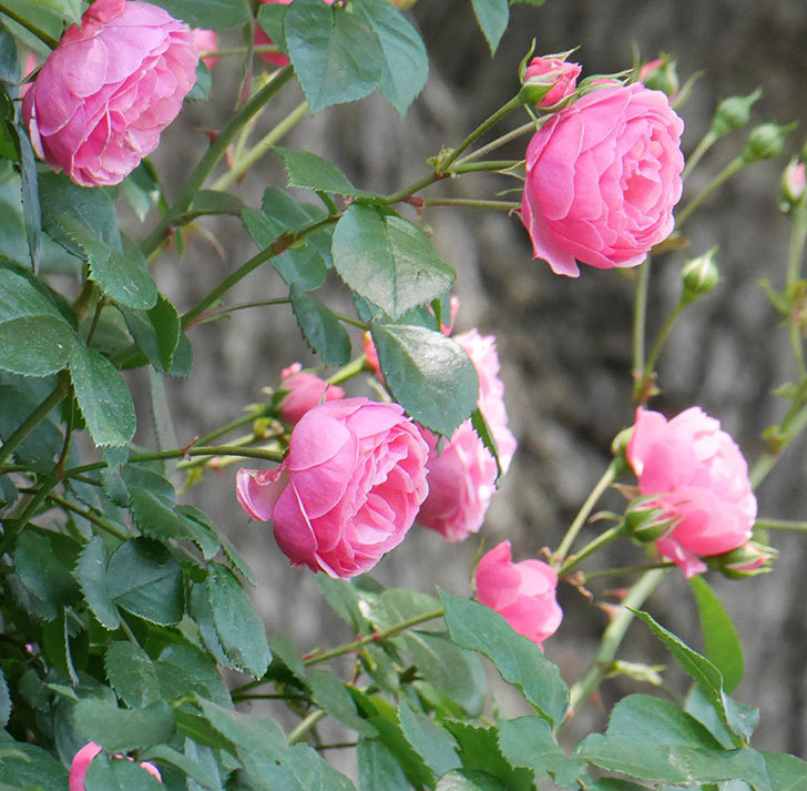 ポンポネッラ(ツルバラ)の花が増えて来た。2019年-5.jpg