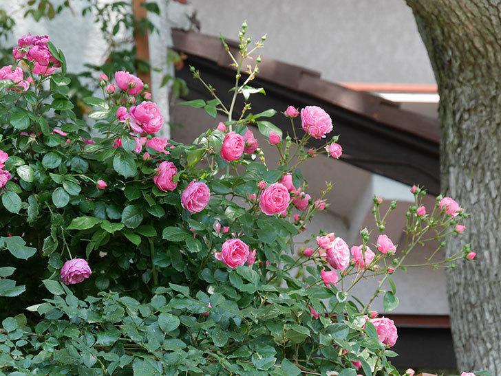 ポンポネッラ(ツルバラ)の花が増えて来た。2019年-6.jpg