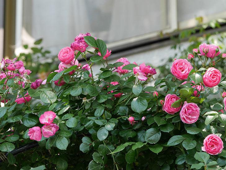 ポンポネッラ(ツルバラ)の花が増えて来た。2019年-8.jpg
