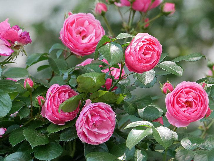 ポンポネッラ(ツルバラ)の花が増えて来た。2019年-9.jpg