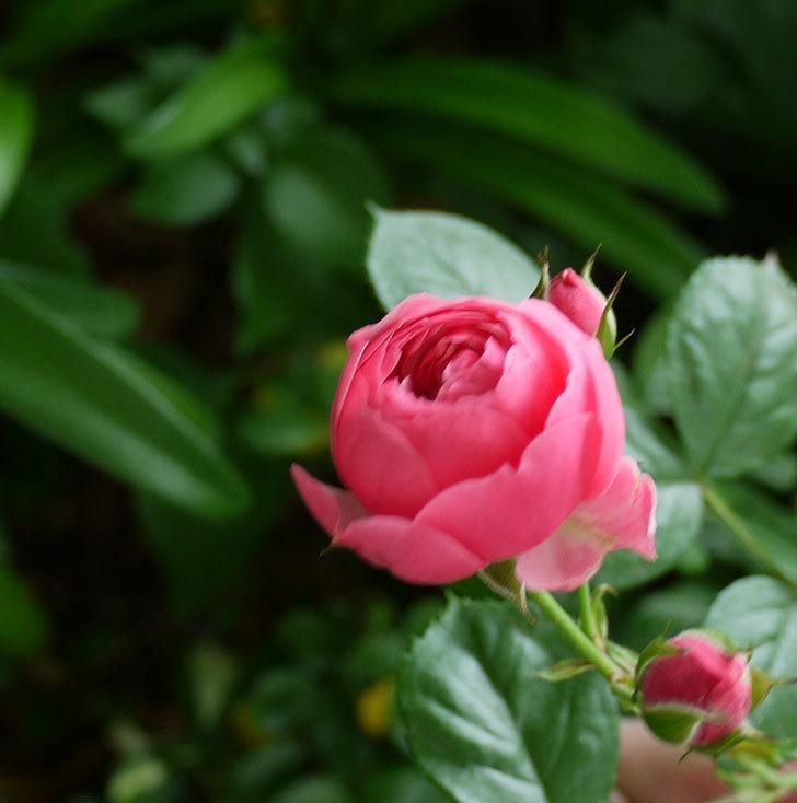 ポンポネッラ(ツルバラ)の花が少し咲いた。2017年-2.jpg