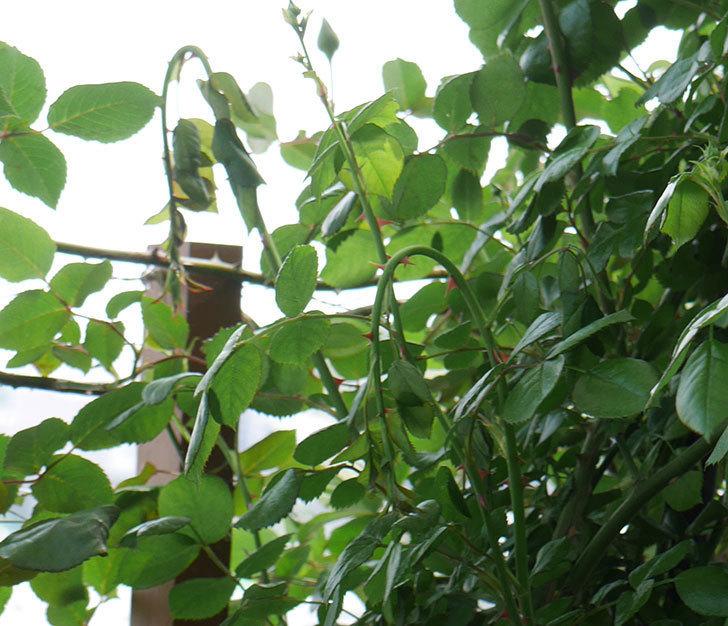 ポンポネッラ(ツルバラ)の蕾付きの新枝が3本バラクキバチにやられて萎れた。2019年-2.jpg
