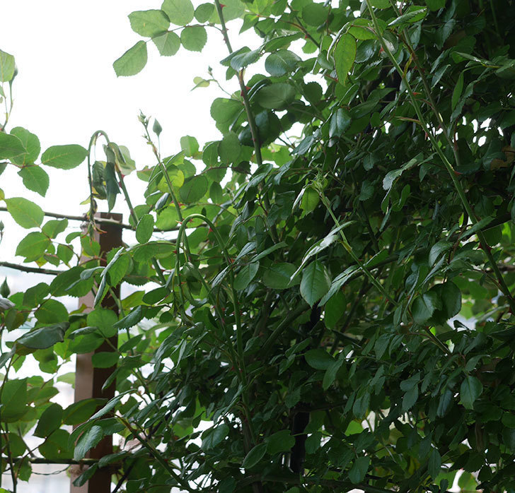 ポンポネッラ(ツルバラ)の蕾付きの新枝が3本バラクキバチにやられて萎れた。2019年-3.jpg