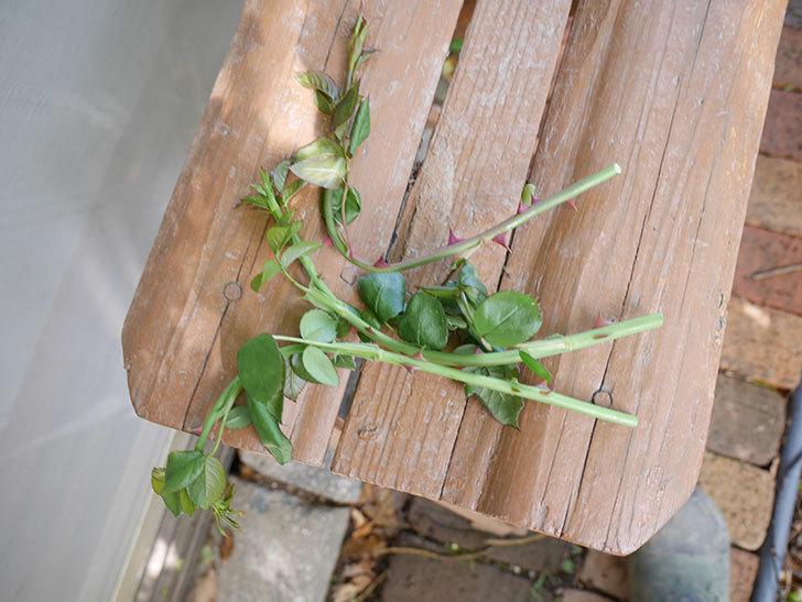 ポンポネッラ(ツルバラ)の蕾付きの新枝が3本バラクキバチにやられて萎れた。2019年-4.jpg