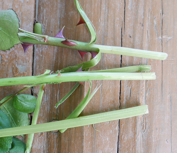 ポンポネッラ(ツルバラ)の蕾付きの新枝が3本バラクキバチにやられて萎れた。2019年-5.jpg