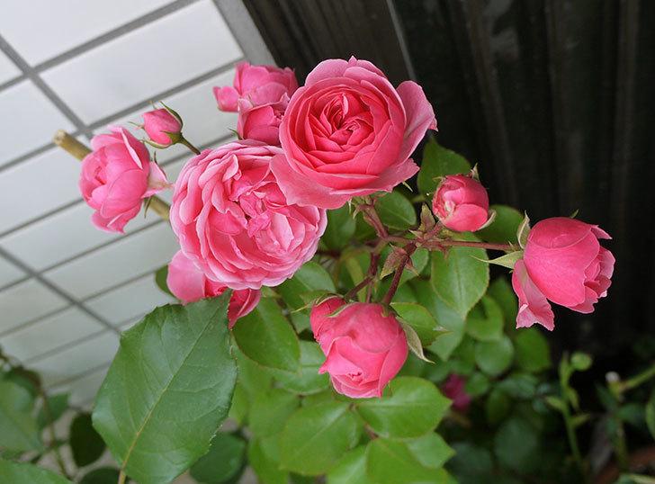 ポンポネッラ(ツルバラ)の開花株の花が更に咲いた。2016年-1.jpg