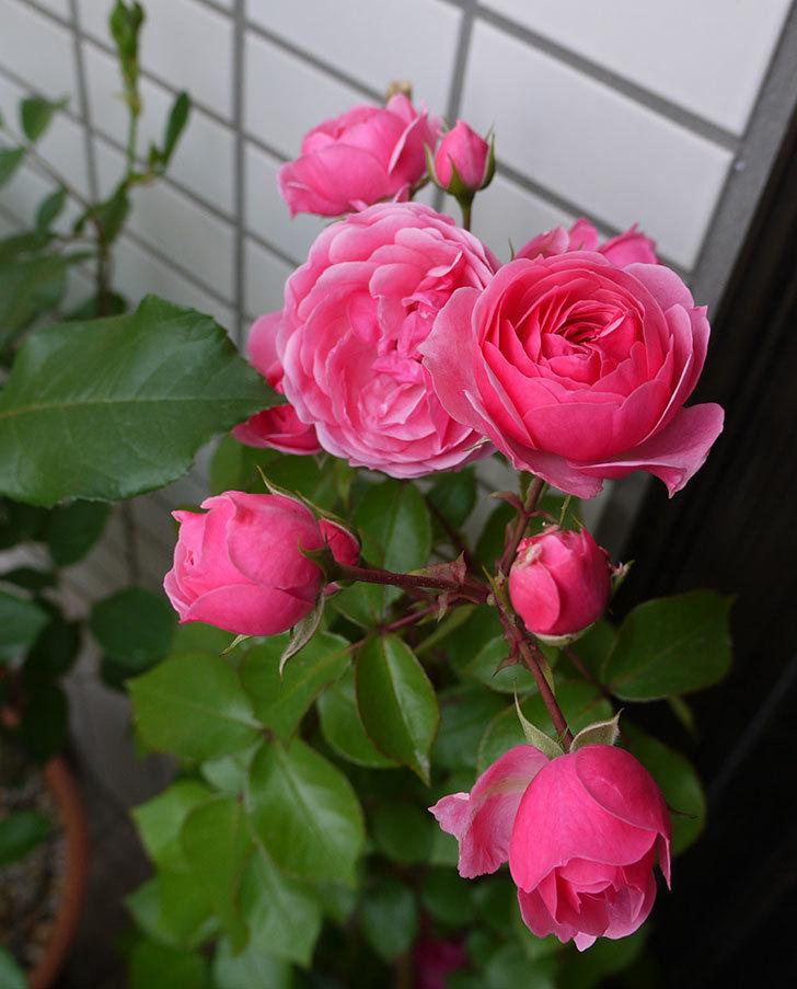 ポンポネッラ(ツルバラ)の開花株の花が更に咲いた。2016年-2.jpg