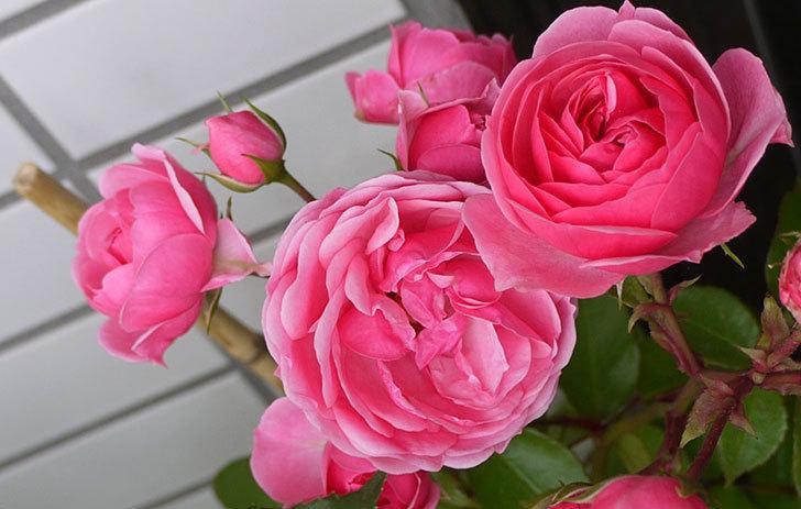 ポンポネッラ(ツルバラ)の開花株の花が更に咲いた。2016年-3.jpg