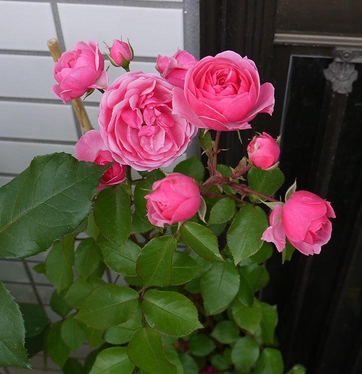 ポンポネッラ(ツルバラ)の開花株の花が更に咲いた。2016年-4.jpg