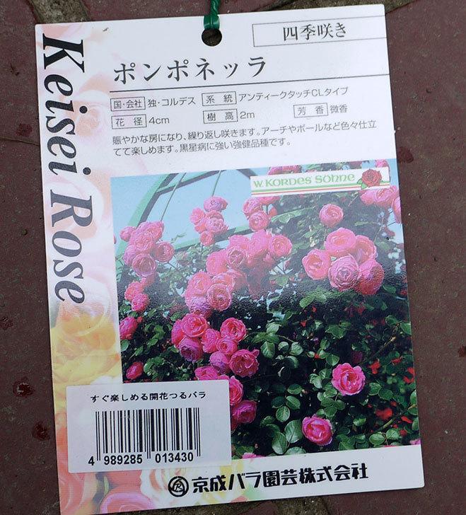 ポンポネッラ(ツルバラ)の開花株をケイヨーデイツーで買って来た。2016年-4.jpg