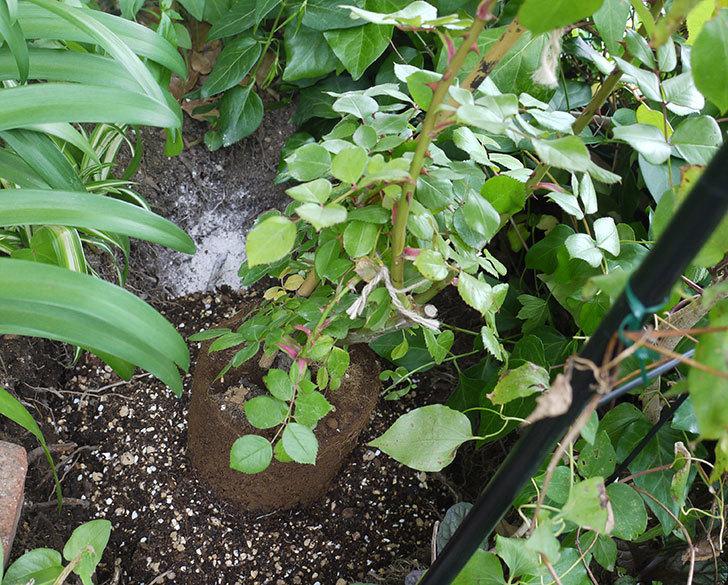 ポンポネッラ(ツルバラ)の開花株を地植えした。2016年-1.jpg