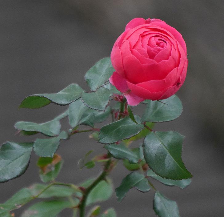 ポンポネッラ(半ツルバラ)に濃いピンクの花が咲いた。2019年-1.jpg