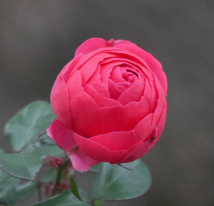 ポンポネッラ(半ツルバラ)に濃いピンクの花が咲いた。2019年-2.jpg